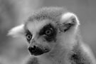 Ring-Tailed Lemur by Leanne Allen