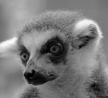 Ring-Tailed Lemur by Leanne Allen