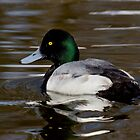 Mr. Scaup by Jeff Weymier