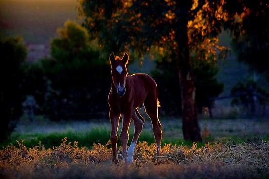 Evening foal by kurrawinya