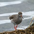 Red Shank by JanSmithPics