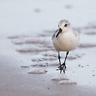 Sanderling by Nigel Tinlin