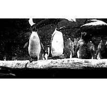 peguins Photographic Print
