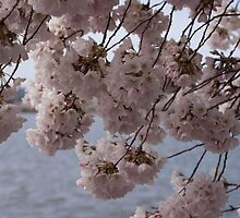 Blossoms on the Tidal Basin by blp1965