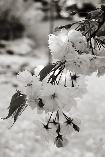 Bokeh Blossoms by michellerena