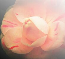 Muted Pink by Barbara  Brown