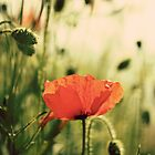 Poppy by lorrainem