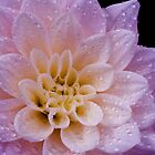 Wet Dahlia by ©  Paul W. Faust