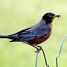 Male American Robin by Renee Blake