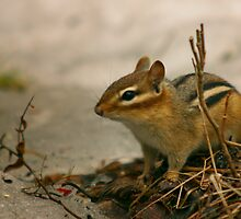 Chip the Chipmunk - Ottawa, Ontario by Josef Pittner