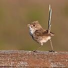 Perky-tailed Fairy Wren by Barb Leopold