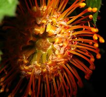 Orange Queen Protea (Grevillea) by sstarlightss