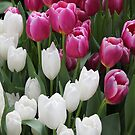 Pink and White Tulips by Rachel Craze