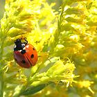 Lady Bug on Goldenrod by SusieG