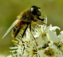 Honey-Bee by Russell Couch