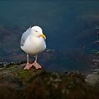 Seagull in Howth by heatherbyrne