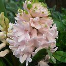 Hyacint by Ana Belaj