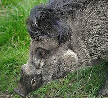 Gissa Kiss ( Negos Island Warty Pig) by Dorothy Thomson