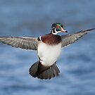 Wood Duck Levitation. by Daniel Cadieux