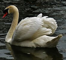 Swan song by artfulvistas
