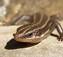 Sunbathing Skink by Kate Eller