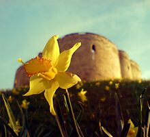 A daffodil for Clifford by MikeShort