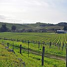 Napa Valley Vineyard by SarahMPhotos