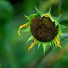 Fade Away ~ Wild Sunflower by Vicki Pelham