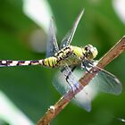 dragonfly by cliffordc1
