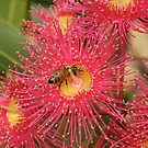 Red-flowering Gum Flower with Bee by Andrew Trevor-Jones