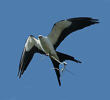 SWALLOW-TAILED KITE by TomBaumker
