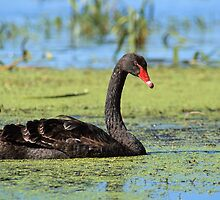 Black swan #3 - Ballarat by KerryRaymond