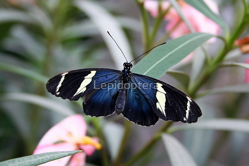 Open Wings Sara Longwing - Heliconius sara by Lepidoptera