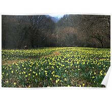 Wild Daffodils at Dunsford Wood in Devon,UK Poster