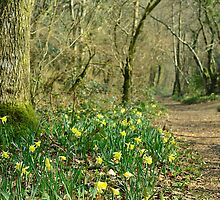 Path through the Daffodils by jonshort58
