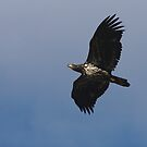 Young Bald eagle by Al Williscroft