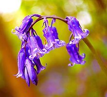 Bluebells by John Dickson