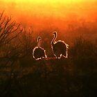 Ostrich Sunset by Robbie Labanowski