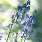 Scilla Hispanica by imagejournal