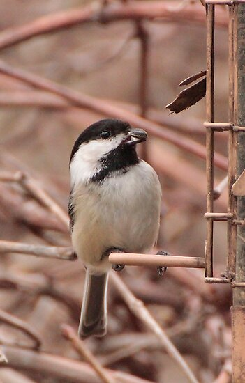 Black Capped Chickadee  by Éilis  Finnerty Warren