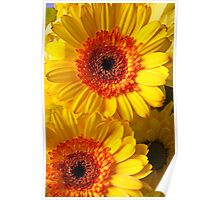 Two Yellow Orange Mums Poster