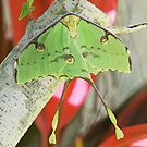 Luna moth by jozi1
