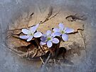 Hepatica Wildflowers - Hepatica nobilis by MotherNature