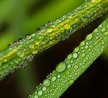 Dewy Stalk by sprucedimages