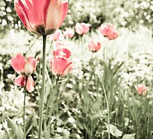 Tulip by lokanin