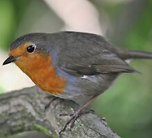 Robin in his Hood by Dorothy Thomson