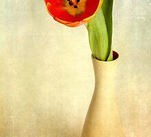 tulip by Streichelweich