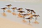 Sanderlings on Isla Mujeres by Yukondick