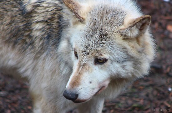Timber wolf © by Cath Ollenberg