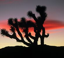Joshua Tree sunset by peterchristian